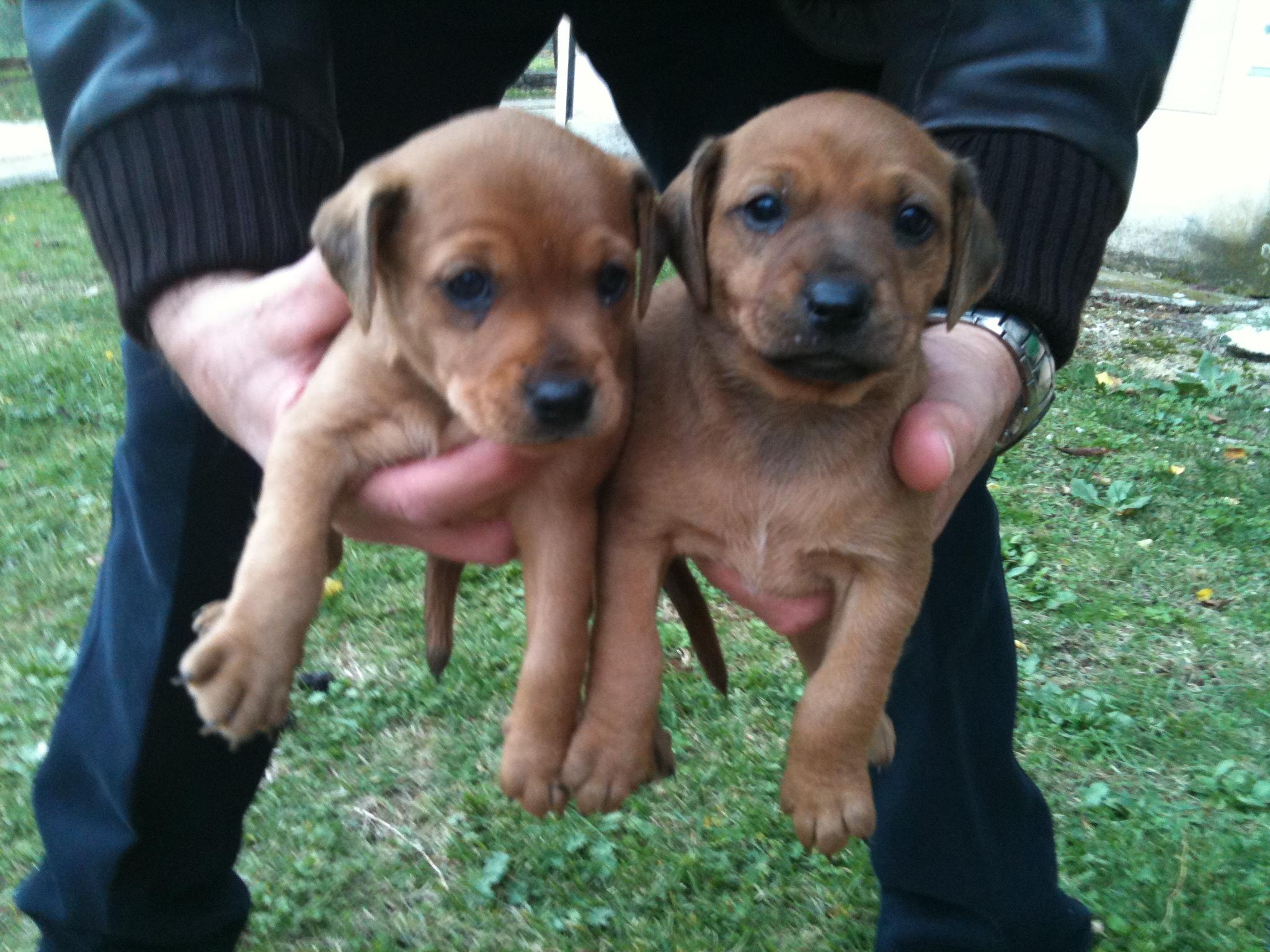Due cucciole incrocio pincher cercano casa adottate un for Pincher cucciolo